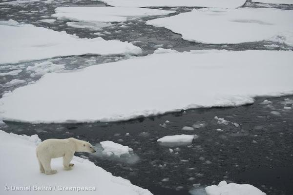 A young polar bear wanders on ice, seen from the Greenpeace ship during an expedition to document the lowest sea ice level on record.