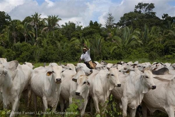 According to the Brazilian government, 62% of deforested areas become grasslands to feed cattle.