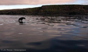 A young fur seal in the Bering Sea