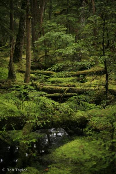 Pristine natural forest in Southeast Alaska.  Bob Taylor