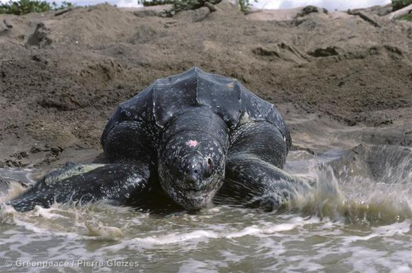 A big ol' Leatherback turtle enters the sea after nesting.