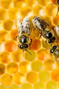Bees on a Honeycomb in the NetherlandsBijen op een Honingraat