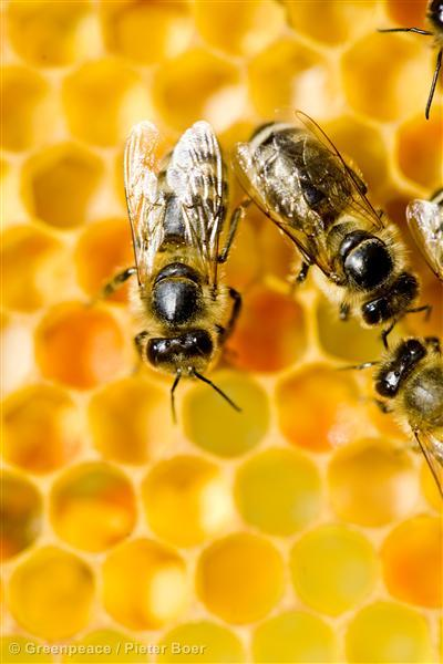 Bees on a Honeycomb in the NetherlandsBijen op een Honingraat