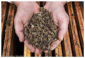 Honeybees Mortality in the NetherlandsImker Henk Brouwer laat dode bijen op de honingraat zien