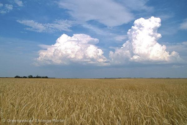 Genetically modified wheat fields in Aberdeen, Saskatchewan.