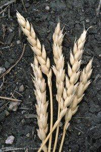 GE Wheat Fields in Saskatchewan