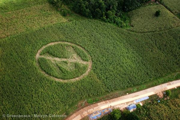 Aerial view of a crop circle made by local farmers and Greenpeace volunteers