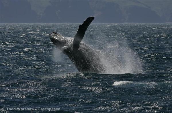 Humpback Whales in Gulf of Alaska