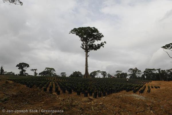 Oil Palm Nursery in Fabe Community in Cameroo