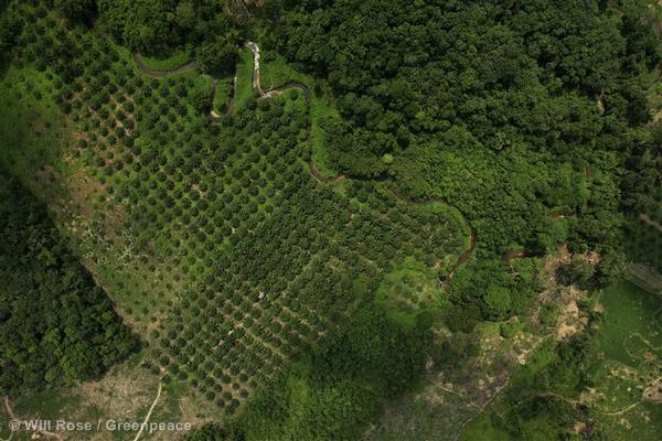 Much of the natural forest that once surrounded teh Kampar Peninsula has been destroyed to make way for palm oil plantations