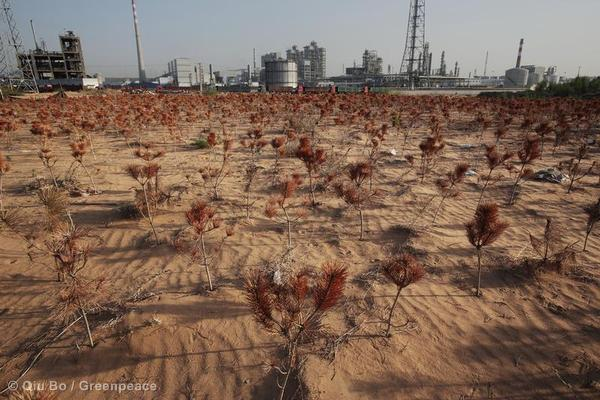 Hand planted pine trees that surround the Shenhua Ordos Coal to Liquid facility have died due to lack of water.