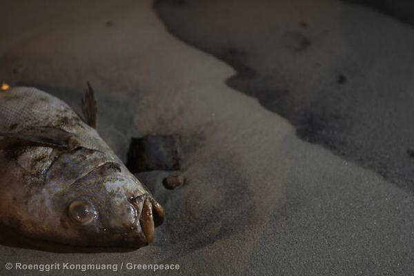A dead fish at the site of the oil spill at Ao Phrao beach in Ko Samed, Rayong Province