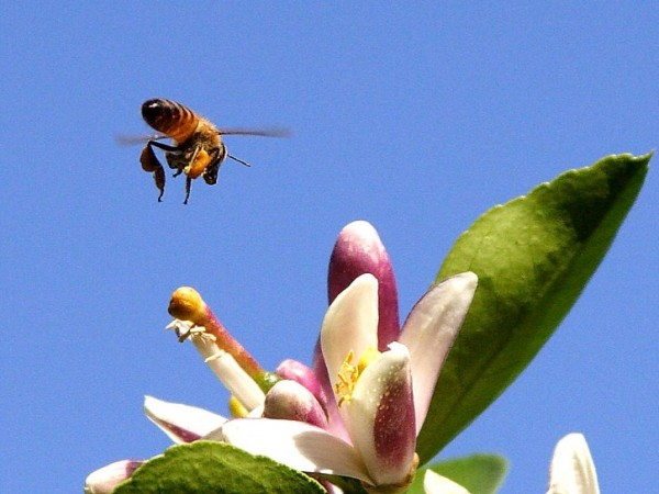 Another bee fact: Honey bees like to dig their faces into flowers.