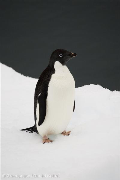 Penguin, Southern Ocean