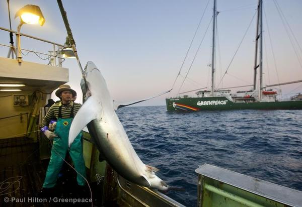 Blue shark caught on a longline