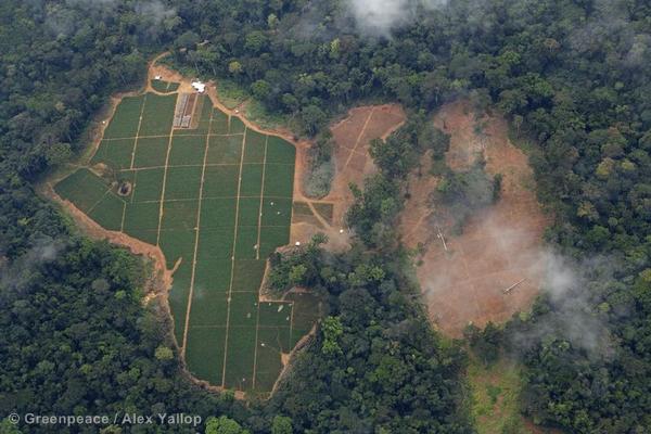 Oil palm nursery in a Herakles Farms concession area.