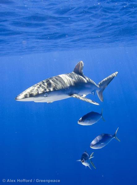 Shark in the Pacific Ocean
