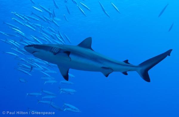 Grey Reef Shark in Thaiti