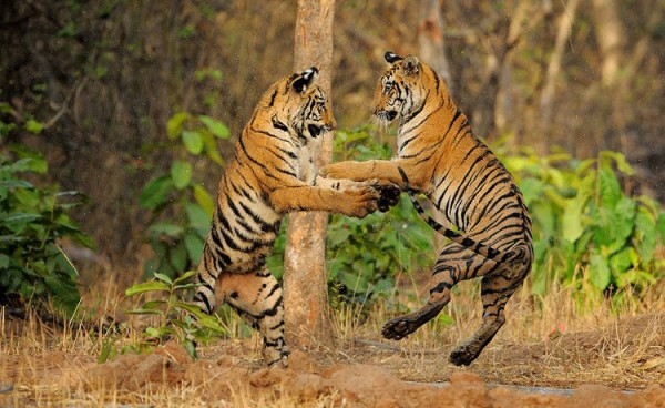 Coal mining in India threatens over 1 million hectares of forest, much of it habitat for tiger, elephant, leopard and sloth bear.