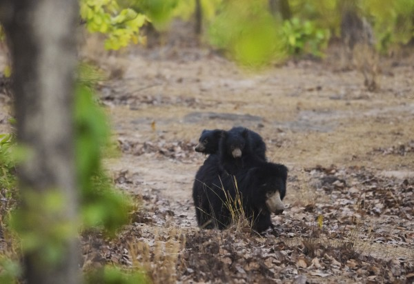 Sloth bear with cubs in the forests of Singrauli, India. These forests are targetted for coal mining.