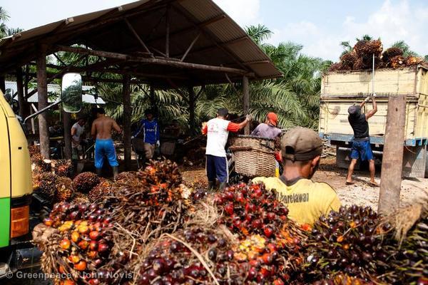 Small-holder Oil Palm Harvest in Sumatra