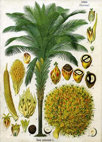 1897 illustration of the oil palm by Franz Eugen Khler, Khler's Medizinal-Pflanzen