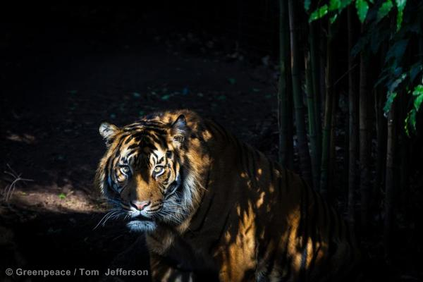Sumatran Tiger at Melbourne Zoo