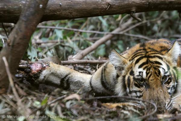 Trapped Sumatran Tiger