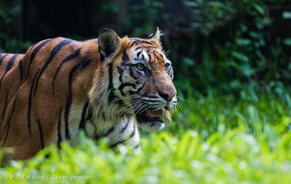 The Sumatran Tiger is at risk from destructive palm oil.