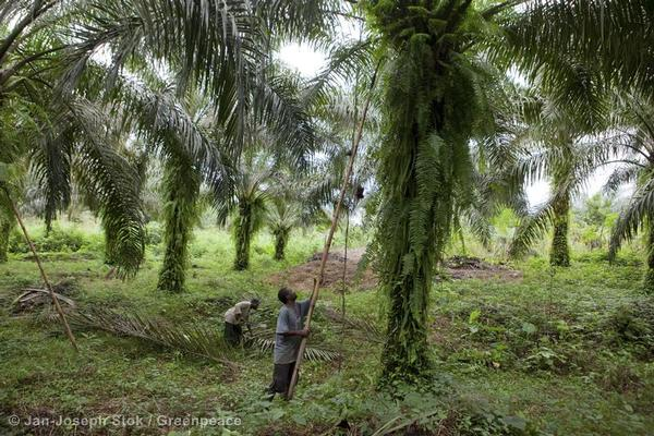 Local smallholder harvests palm oil fruits from farm in Africa