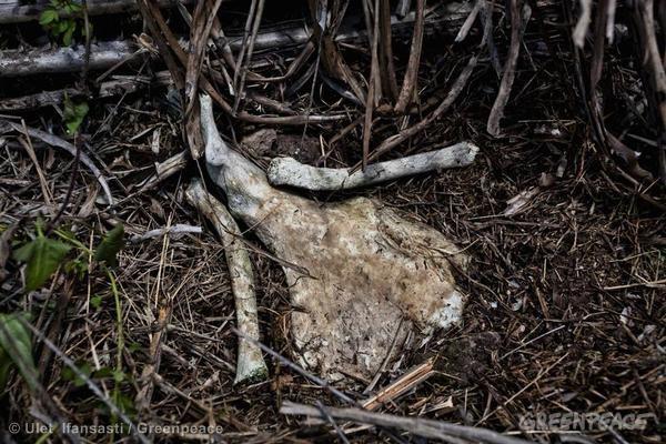 Orangutan bones near Tanjung Puting National Park