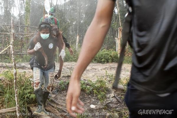 Orang-utan Rescue from Oil Palm Concession in Indonesia