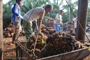 Small-holder Oil Palm Harvest in Sumatra