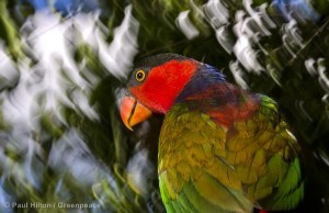 Black-capped Lory in Papua