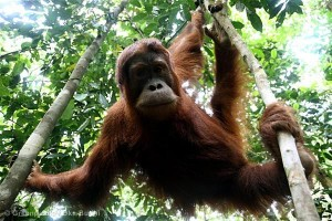 Orphaned Orangutan in Sumatra