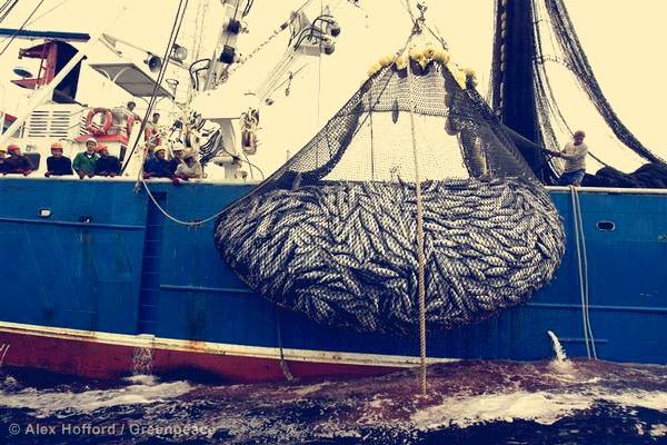 A net bulging with tuna and bycatch on the Ecuadorean purse seiner 'Ocean Lady', which was spotted by Greenpeace in the vicinity of the northern Galapagos Islands while using fishing aggregating devices (FADs).