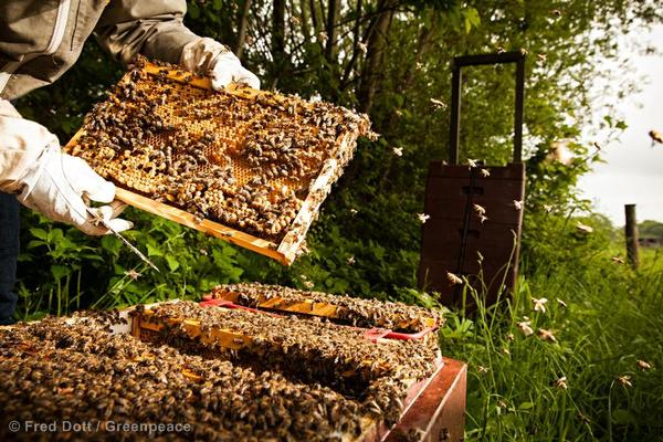 Beekeeper and honeycomb frames with masses of bees.