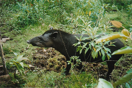 The pig-shaped tapir. Photo courtesy of Elizabeth Prata.