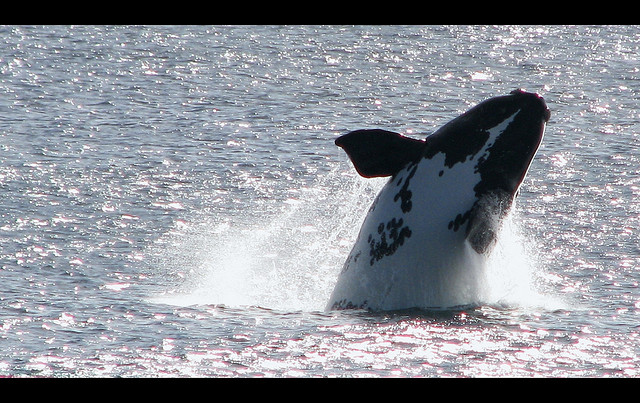 A southern right whale breaches. Photo from Flickr courtesy of Chronon 6.97.