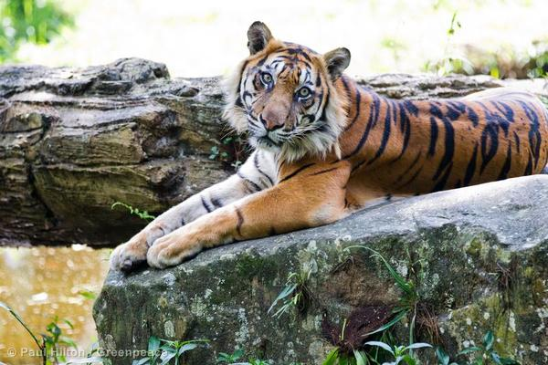 Forest destruction for palm oil is pushing Sumatran tigers to the edge of extinction.