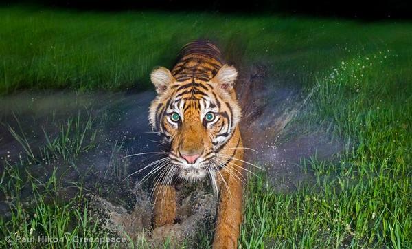 A tiger in Sumatra's Buki Barisan National Park.