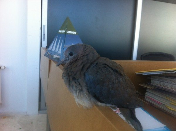 A dove that visited the office of Greenpeace Turkey on the day the Twitter ban was passed.