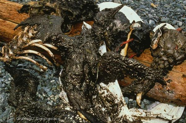 Dead otter, loon, and other crude-oil covered animals decompose on the shore after the Exxon Valdez oil spill disaster.
