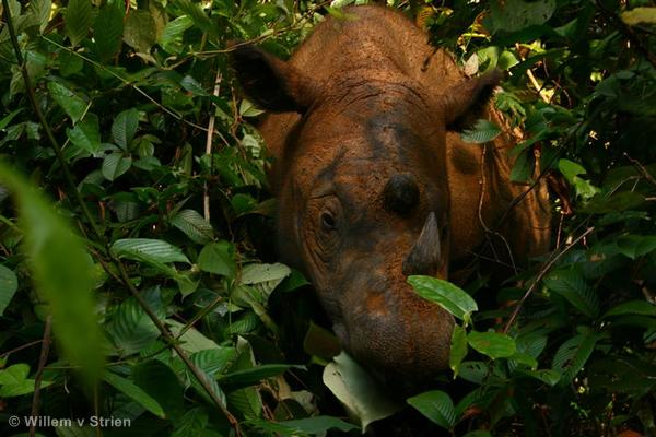 Rhinoceros in Sumatra
