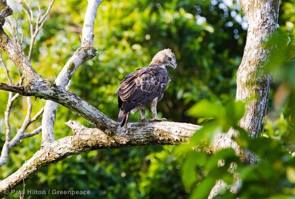 A Wallace's hawk-eagle in Sumatra. It is one of the smallest eagles that exist.