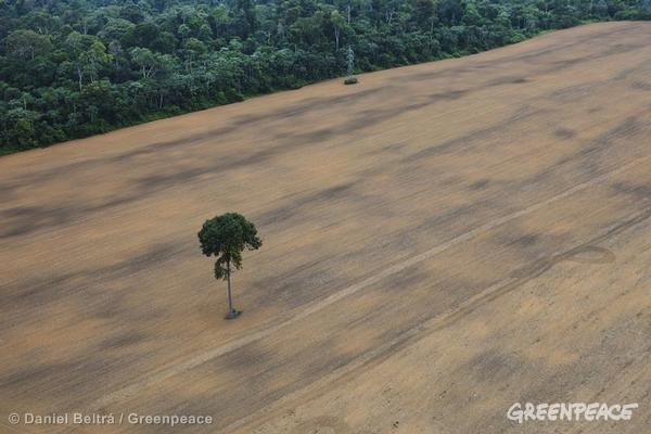 Single tree in a soy field next to rainforest, south of Santarem and along the road BR163 in the Brazilian Amazon.