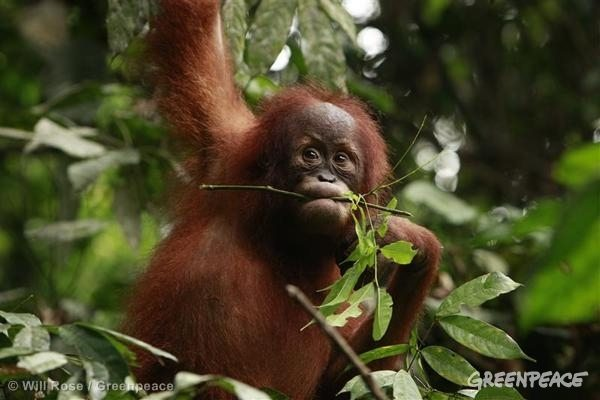 Orangutans are heavily threatened by deforestation linked to palm oil production.