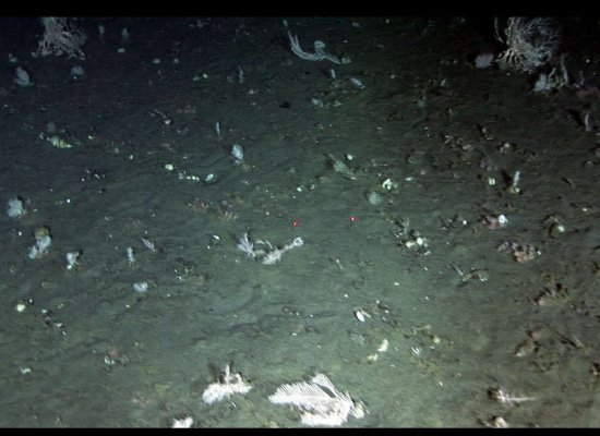 Fan Corals in Pribilof Canyon, damaged most likely from bottom trawling.