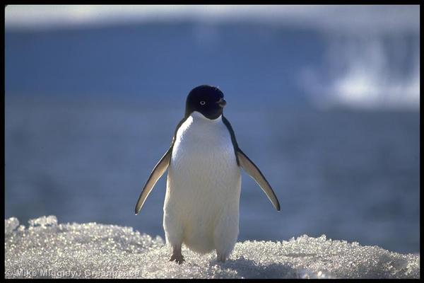 An adelie penguin. You know what she's looking for. Or he.