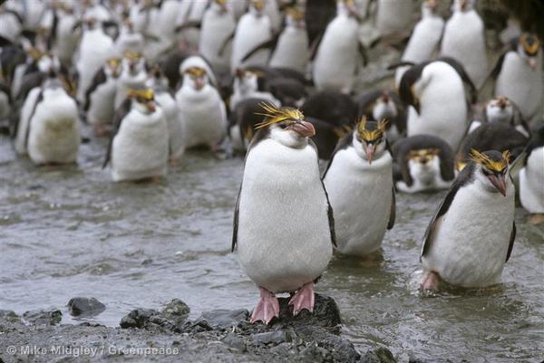 Macaroni penguins. Yes, macaroni penguins.